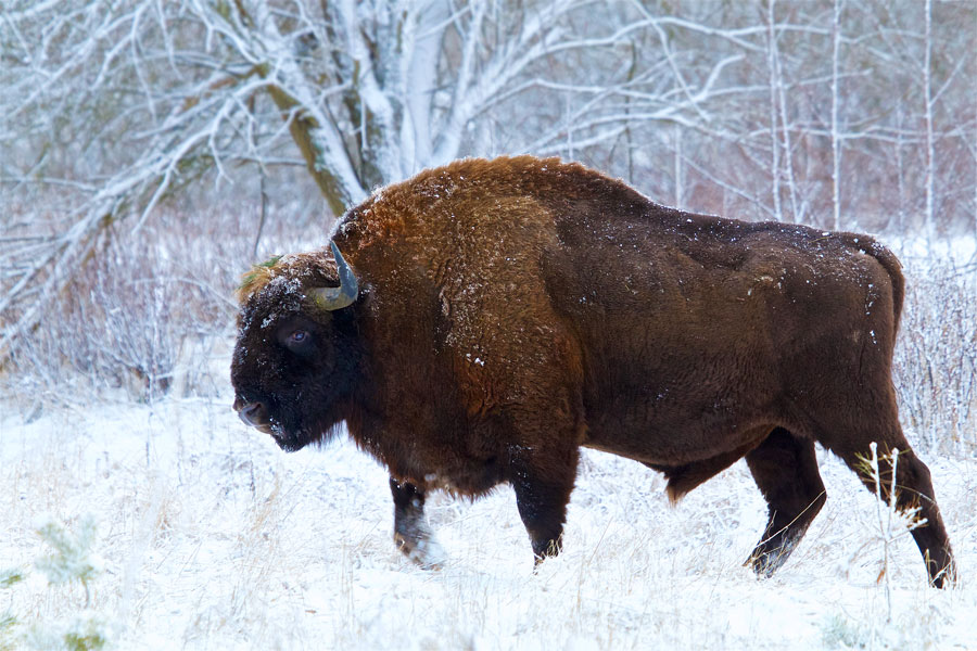 The European bison of ...