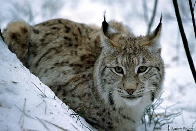 lynx Polska