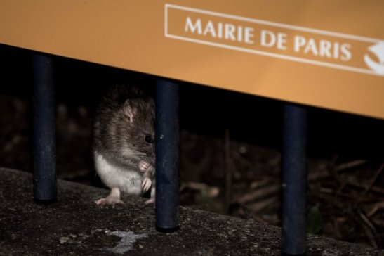 "(FILES) This file photo taken on December 15, 2016 shows a rat standing behind a gate at the square of the Saint Jacques tower close to the rue de Rivoli, in Paris. With the Seine river having burst its banks, Parisians can expect ""to see more rats"" because their burrows may be partly flooded, but this does not mean that the City of Light will be invaded by rats, says specialist Pierre Falgayrac. / AFP PHOTO / PHILIPPE LOPEZPHILIPPE LOPEZ/AFP/Getty Images"