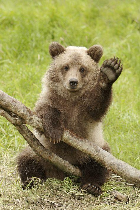 bear-cubs-grizzly-bears